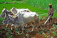 Arado em plantação de arroz. Rajastão, Índia.1998. Foto de Vinicius Romanini.