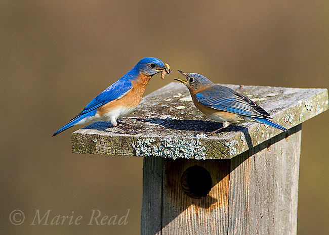 Eastern Bluebird (Sialia sialis) male feeding mealworms to female on top of their nestbox in spring, New York, USA.