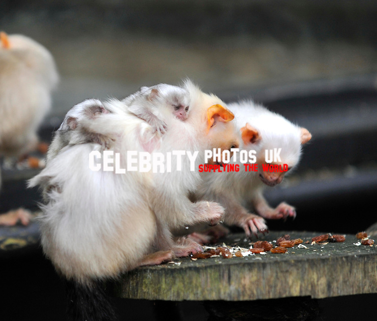 one-week-old twin silvery marmosets. The pair were born on New Year's Eve makeing their  first public appearance  as keepers at the zoo do  their annual stocktake at Whipsnade Zoo on January 8, 2013 in Dunstable, England.Picture By: Brian Jordan / Retna Pictures.. ..-..