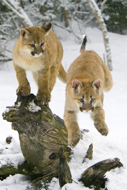 One puma kitten watches while its sibling jumps from a log - CA
