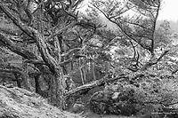 Weathered Douglas Fir Trees