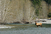 Roosevelt Elk bull (Cervus elaphus roosevelti) crossing Quinault River in Olympic National Park temperate rain forest.