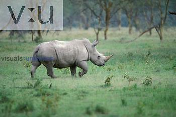 Square Lipped White Rinoceros (Diceros bicornis) Lake Nakuru, Kenya, Africa