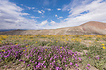 Anza-Borrego Desert State Park, Borrego Springs, California; a patch of purple Sand Verbena flowers with yellow Desert Sunflowers, blue skies and cloud formations in the background