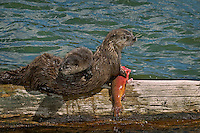 Northern River Otter (Lontra canadensis) mother--with young pup-- feeding on cutthroat trout.  Western U.S., summer. At this stage the pups did not have the teeth to tear or chew the fish skin, but they constantly harassed the mother while she ate..