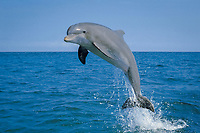 common bottlenose dolphin, Tursiops truncatus, jumping, Bahamas, Caribbean Sea, Atlantic Ocean (cr)