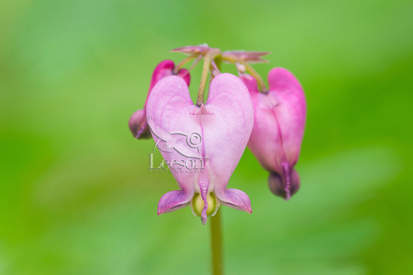 Bleeding Heart, Western Bleeding Heart, Pacific Bleeding Heart (Dicentra formosa).  Pacific Northwest. Spring.