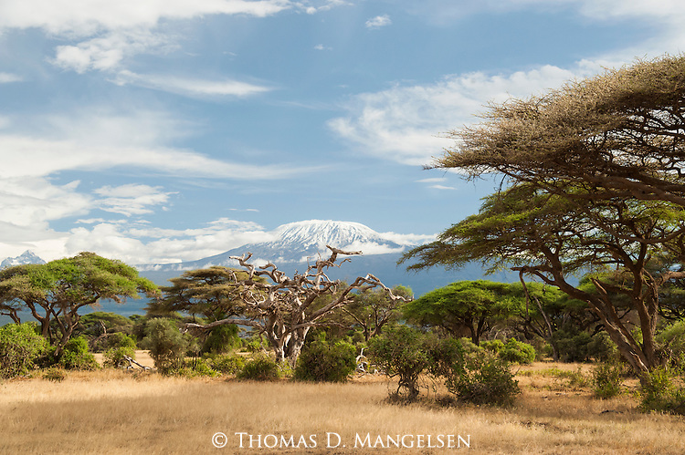 A forest of acacia trees below Mount Kilimanjaro in Amboseli National Park, Kenya.