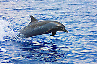 Pantropical Spotted Dolphin, Stenella attenuata, jumping out of boat wake, off Kona Coast, Big Island, Hawaii, Pacific Ocean