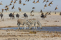 Two Burchell's Zebras drinking at a waterhole surrounded by a flock of Sand Grouse in Etosha, Namibia