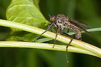 Gewürfelte Tanzfliege, Empis tesselata, dance fly, dagger fly, Tanzfliegen, Rennfliegen, Empididae, dance flies, dagger flies