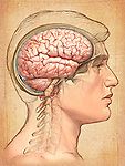 This medical illustration depicts the primary anatomy of the normal healthy brain from a lateral (side) view. The brain is shown in a sectioned skull lightly ghosted beneath the skin.