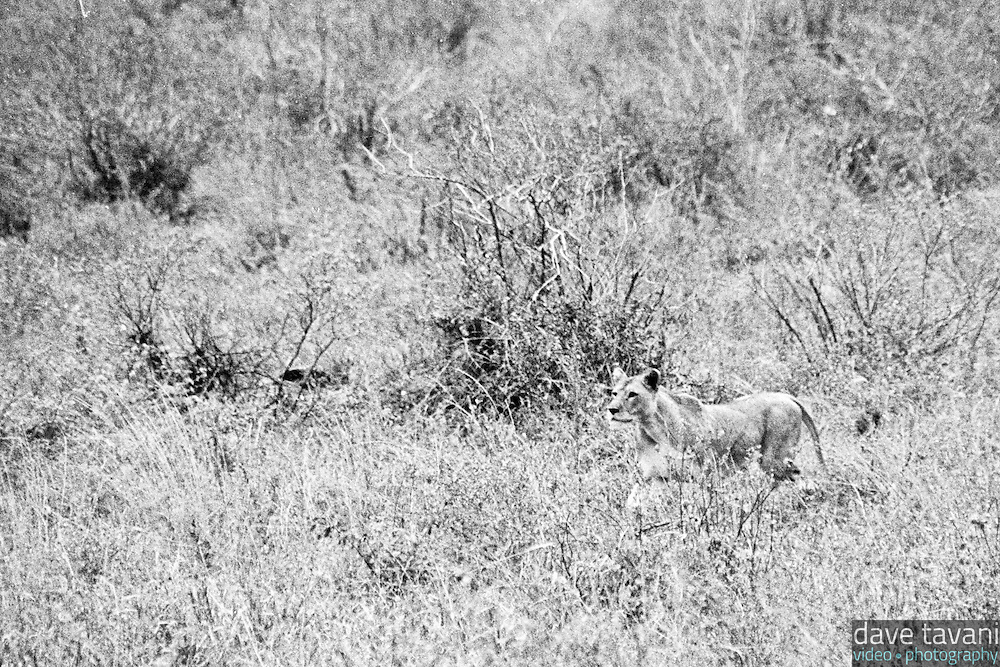 A lion sites an antelope in Tsavo West National Park, Kenya.