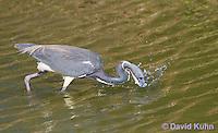 0830-0915  Tricolored Heron Wading in Marsh, Striking Water for Prey, Louisiana Heron, Egretta tricolor © David Kuhn/Dwight Kuhn Photography