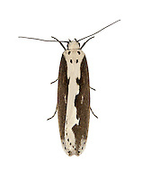 Ethmia bipunctella<br /> 33.006 (0720)