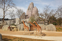 West African giraffes (Giraffa camelopardalis) in their new outdoor enclosure with the Grand Rocher or Great Rock in the background, in the Zone Sahel-Soudan at the new Parc Zoologique de Paris or Zoo de Vincennes, (Zoological Gardens of Paris or Vincennes Zoo), which reopened April 2014, part of the Musee National d'Histoire Naturelle (National Museum of Natural History), 12th arrondissement, Paris, France. Picture by Manuel Cohen