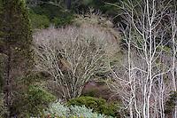 California native trees left to right - evergreen conifer Juniperus grandis - Sierran Juniper; deciduous trees - Quercus kelloggii (Black Oak); Populus tremuloides (Quaking Aspen) at East Bay Regional Parks Botanic Garden, Berkeley.