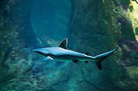 Europe/France/Aquitaine/64/Pyrénées-Atlantiques/Pays-Basque/Biarritz:  Requin - Aquarium-  Musée de la Mer