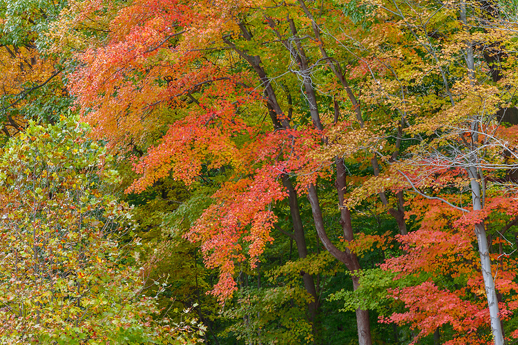 Maple trees and forest in Fall color; Cuyahoga Valley National Park, OH