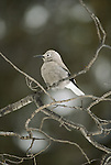 Clark's nutcracker perches in a tree.