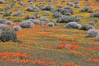 Field of California Poppies, Eschscholzia californica, and Goldfields, Lasthenia chrysostoma, Lancaster, California
