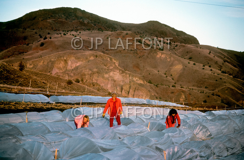 Wasco, Oregon, February 1984: Disciples of Bhagwan Rajneesh working on a green house in Rajneeshpuram. The disciples were vegetarian and grew their own vegetables.   Rajneeshpuram, was an intentional community in Wasco County, Oregon, briefly incorporated as a city in the 1980s, which was populated with followers of the spiritual teacher Osho, then known as Bhagwan Shree Rajneesh. The community was developed by turning a ranch from an empty rural property into a city complete with typical urban infrastructure, with population of about 7000 followers.