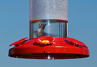 Anna's hummingbird, Calypte anna, at a backyard feeder in the Santa Cruz Mountains, California