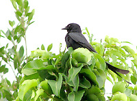 Stock image of Indian Black drongo on tree top.