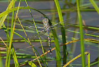 339360077 a wild teneral male blue-eyed darner rhionaeschna multicolor perches on a reed above a small pond at snow flats in graham county arizona