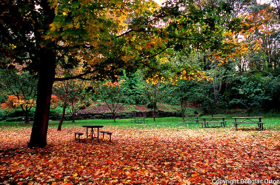 Big Leaf Maple leaves cover picnic ground in Washington Park Arboretum, Seattle, WA