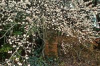 Prunus cerasifera 'Pissardii' (Purple Leaf Plum, Cherry Plum) flowering in garden