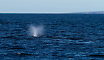Humback Whale blows in the Sea of Cortez, Baja Mexico
