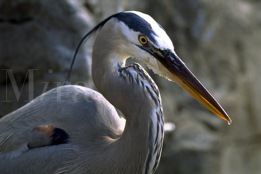 Great Blue Heron close up. Florida.