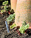 New shoots of rhubarb with terracotta rhubarb forcing pots, early March.