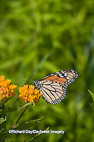 03536-046.05 Monarch (Danaus plexippus) on Butterfly Milkweed (Asclepias tuberosa) Marion Co. IL