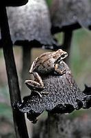 Tree frog on shaggy mane mushroom in Mt Hood National Forest, Oregon