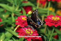 03009-00812 Black Swallowtail (Papilio polyxenes) on Zinnia sp., Marion Co.  IL