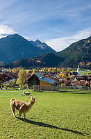 Germany, Bavaria, Swabia, Upper Allgaeu, resort Bad Hindelang, district Bad Oberdorf: with Breitenberg mountain (1.887 m), two Alpacas (Vicugna pacos) grazing | Deutschland, Bayern, Schwaben, Oberallgaeu, Bad Hindelang, Ortsteil Bad Oberdorf: vorm Breitenberg (1.887 m), auf der Wiese weiden Alpakas (Vicugna pacos)