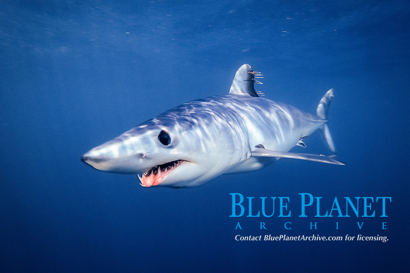 mako shark, Isurus oxyrinchus, La Jolla, California, USA, East Pacific Ocean