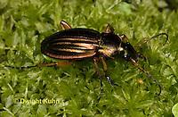 1C38-564z Green Beetle or Golden Ground Beetle, Carabus auratus