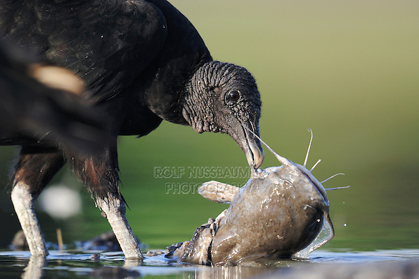 Black Vulture (Coragyps atratus), adult eating on catfish , Dinero, Lake Corpus Christi, South Texas, USA