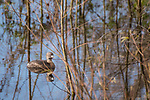 Brazoria County, Damon, Texas; a pied-billed grebe reflecting in the surface of the slough in early morning sunlight