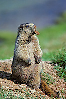 Hoary Marmot with rock it has dug out and removed from its den.  Northern Rockies.. (Also see images # Mz92, 93, 99, 100, 102.)