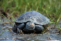 Diamondback Terrapin; Malaclemys terrapin; female returns to water from egg-laying, NJ, Delaware Bay