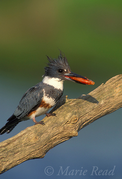 Belted Kingfisher (Ceryle alcyon), adult female holding a fish in her bill, New York, USA<br /> Slide # B86-204