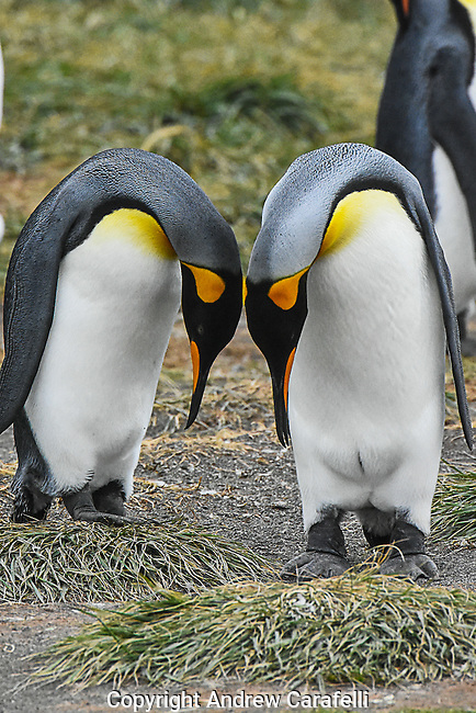 A pair of King Penguins on Tierra Del Fuego take a bow to each other.