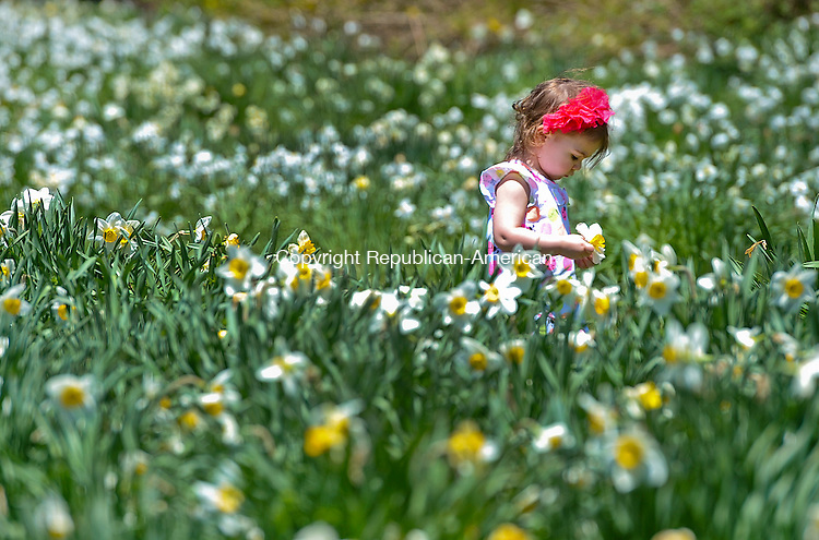 LITCHFIELD, CT-051114JS06--Arienne Whittaker, 2, of Torrington, makes her way through the flower covered narcissus field at  the Laurel Ridge Foundation fields in Litchfield on Sunday. In the 1940's property owners Remy and Virginia Morosani planted 10,000 daffodil bulbs and in the 1960's started the Laurel Ridge Foundation, a private foundation, to create a permanent entity to hold the daffodils.<br /> Jim Shannon Republican-American