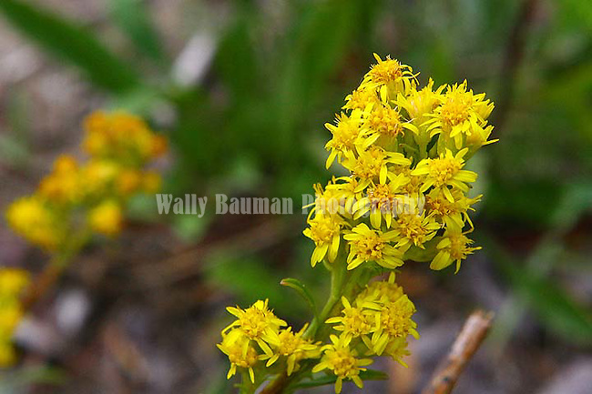 Northern Goldenrod, Solidago multiradiata Wildflowers of the Yukon, Canada