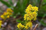 Northern Goldenrod, Solidago multiradiata Wildflowers of the Yukon, Canada