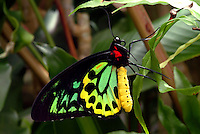 The Cairns Birdwing (Ornithoptera euphorion) is Australia's largest endemic butterfly species, with females reaching a wingspan of up to 16 cm. Males are usually a few centimeters smaller. A closely allied species, the New Guinea or Priam's Birdwing (Ornithoptera priamus) reaches 19 cm and is the largest butterfly species found in Australia, but it is not endemic. Cairns Birdwings are found southwards from Mount Webb and Cooktown to Mackay in Queensland. Its favoured habitat is primary rainforest, although the species will breed readily in a home garden if the correct larval host plants are grown.